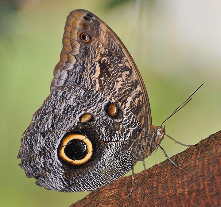 Owl Butterfly - NatureBabe Photos