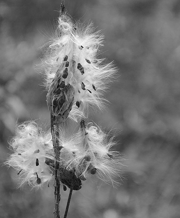 Milkweed Seeds in Black and White - NatureBabe Photos