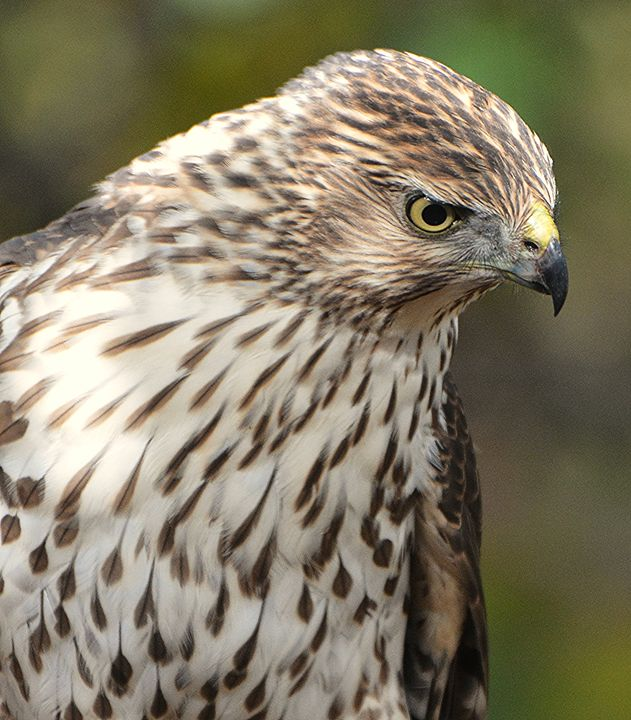 Juvenile Cooper's Hawk Stalking - NatureBabe Photos
