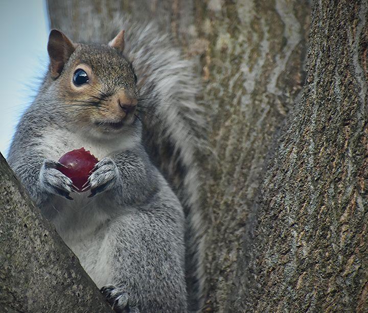 Squirrel Eating a Grape - NatureBabe Photos