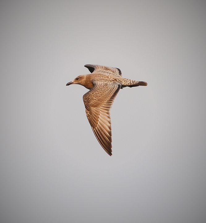 Sunset Gull - NatureBabe Photos