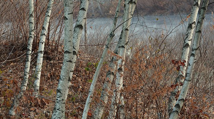 Birch Trees at Toby's Pond - NatureBabe Photos