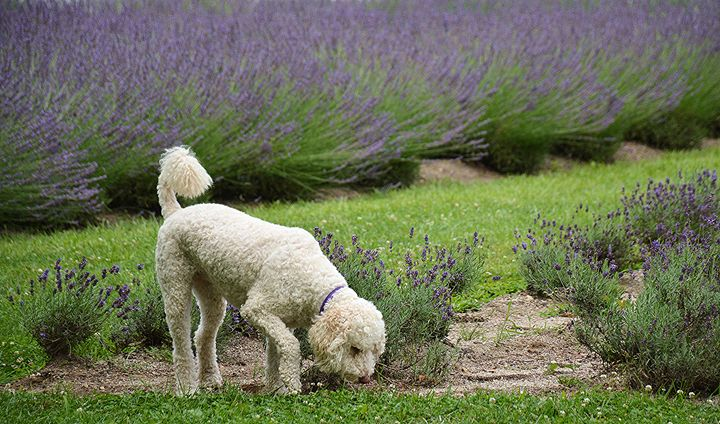 Labradoodle and Lavender - NatureBabe Photos