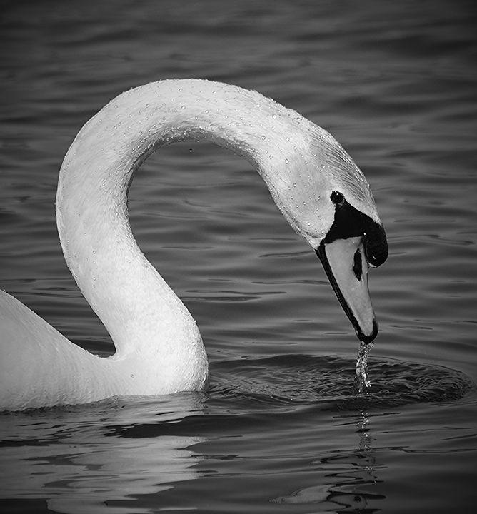 Swan Taking a Sip - NatureBabe Photos
