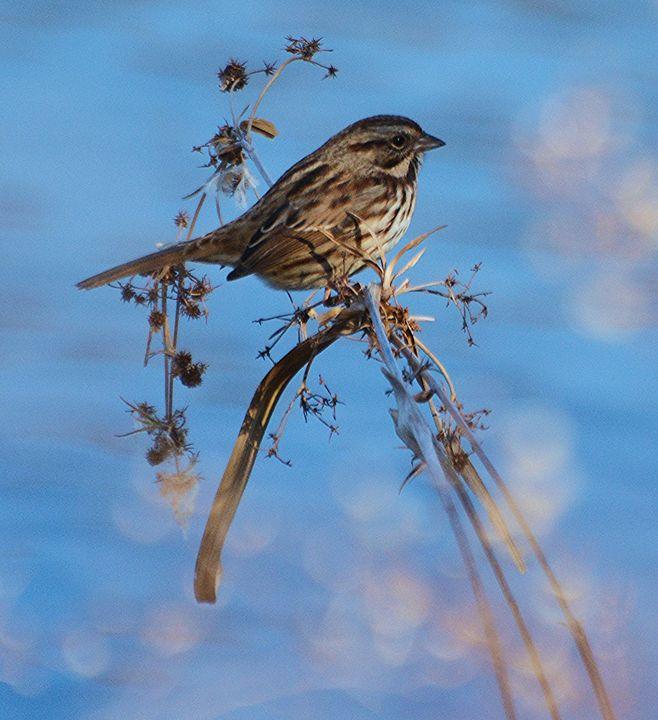 Song Sparrow and Blue Sky - NatureBabe Photos