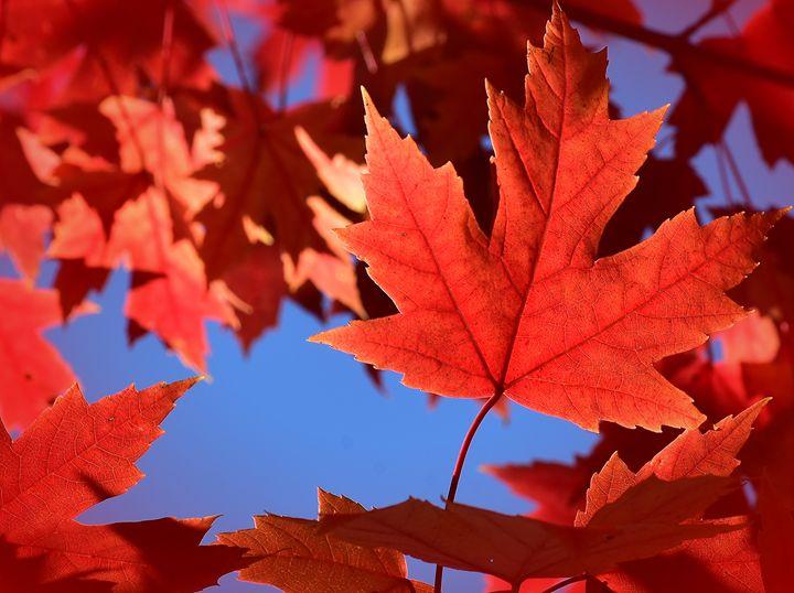 Autumn Blaze Maple Leaf - NatureBabe Photos