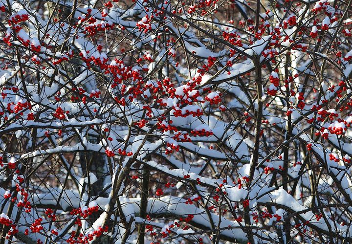 Red Winter Berries in the Snow - NatureBabe Photos