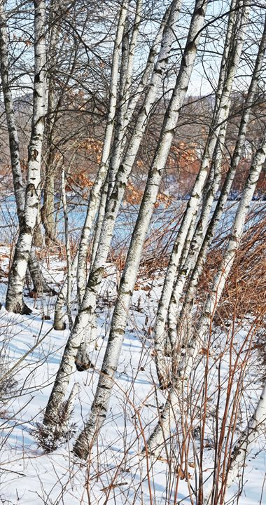 Birch Trees in Winter - NatureBabe Photos