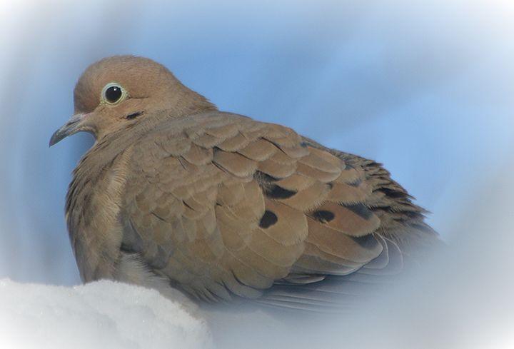 Dove on a Cloud of Snow - NatureBabe Photos