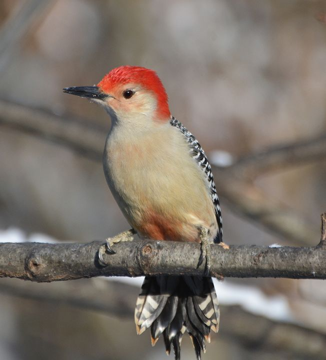 Red-Bellied Woodpecker in Winter - NatureBabe Photos