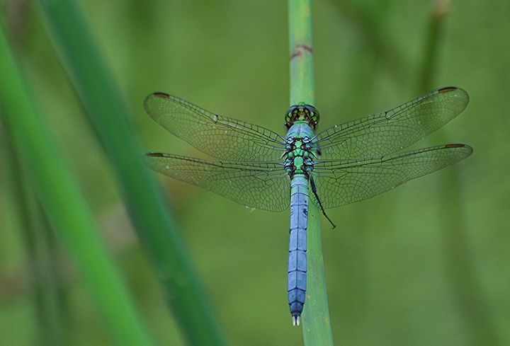 Blue Dasher - NatureBabe Photos