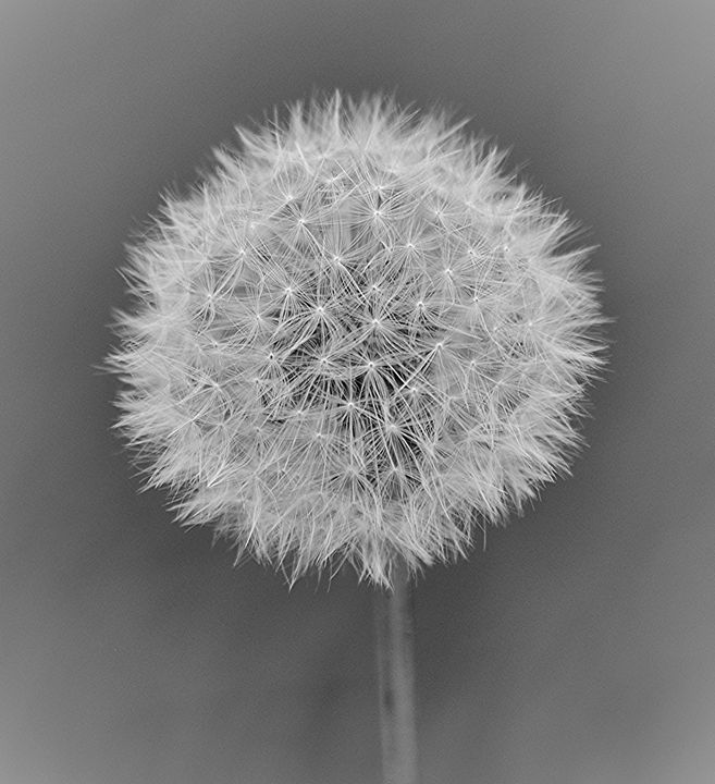 Dandelion Seeds - NatureBabe Photos