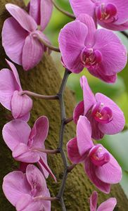 Cascading Orchids