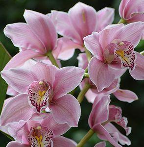 Pink Cymbidium Orchid