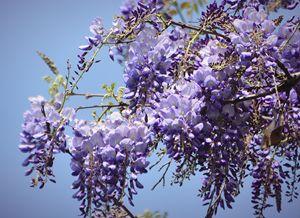Wisteria Blooms