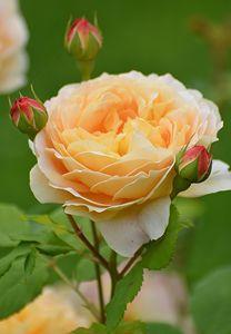 Rose Family