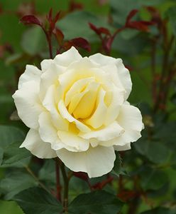 Ivory Colored Rose