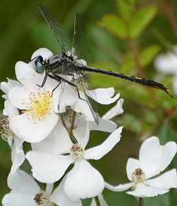 Dragonfly on White Flowers