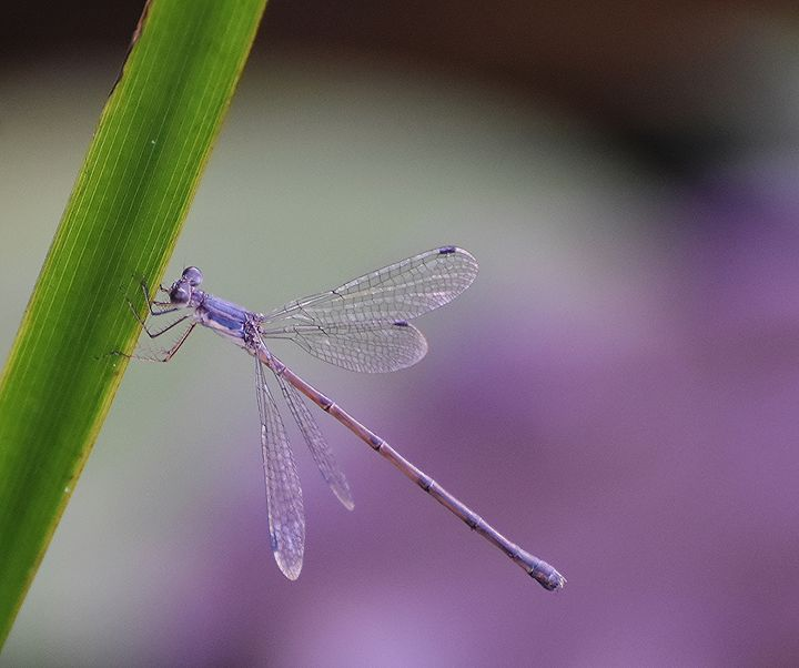 Purple Damselfly - NatureBabe Photos