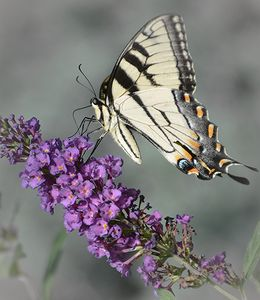 Tiger Swallowtail Striking a Pose