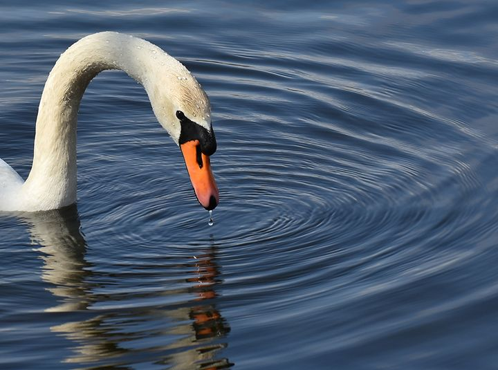 Swan with Reservoir Ripples - NatureBabe Photos