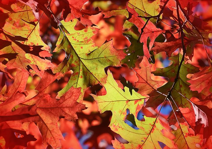 Vivid October Oak Colors - NatureBabe Photos