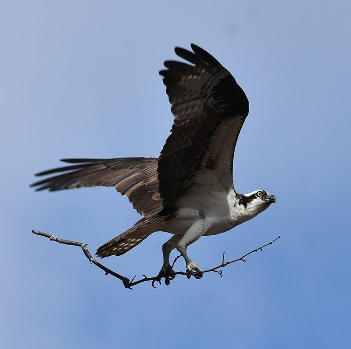 Osprey Nestbuilding - NatureBabe Photos