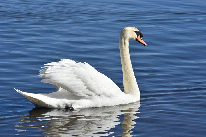 Swan Lake - NatureBabe Photos