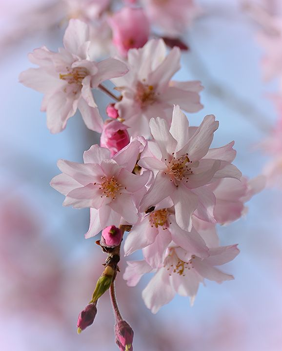 Sakura - NatureBabe Photos