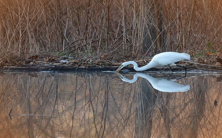 Egret Kissing His Reflection - NatureBabe Photos