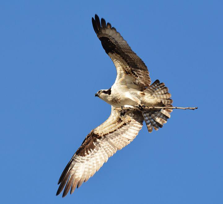 Twig-Surfing Osprey - NatureBabe Photos