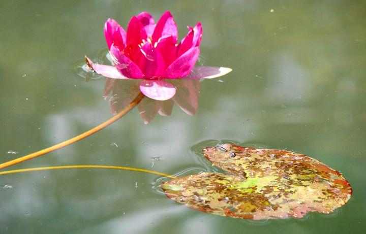 Water lilies 6 - Anetart Aneta Srodon