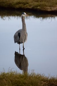 Blue heron - Ngtimages