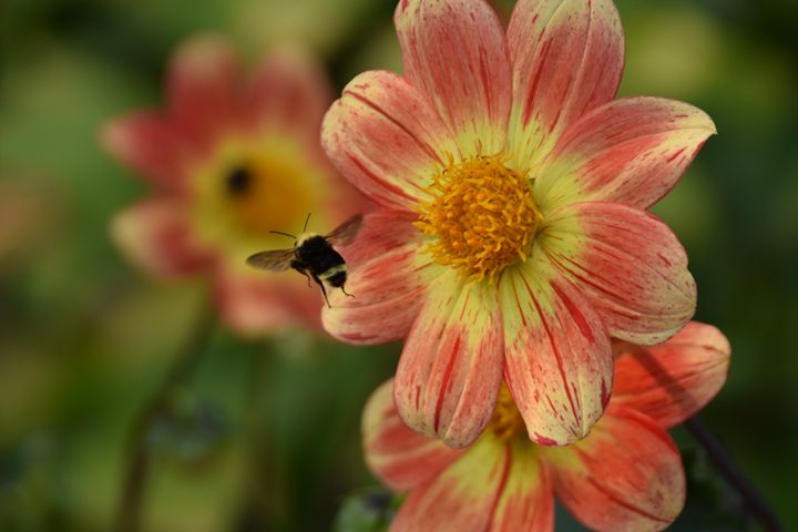 Bee & Flower - Ngtimages