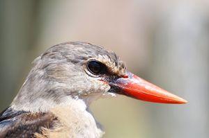 Grey-headed Kingfisher - Desert Art