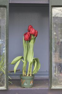 Red tulips in Keukenhof gardens