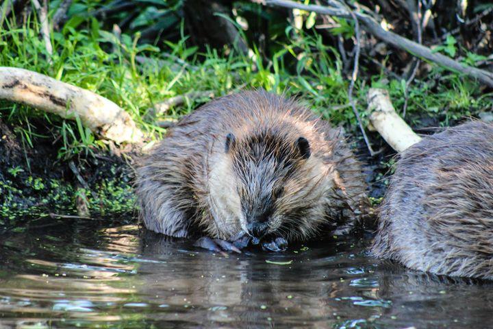 Beavers at Work 4 - 727 Jazz & Co