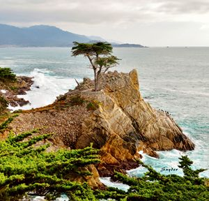 17 Mile Drive - Famous Lone Cypress