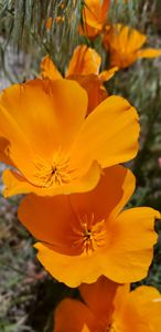 Poppies in Spring - 1
