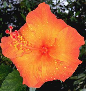 Hibiscus Dewdrops