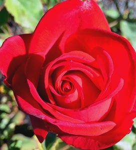Afternoon Rose