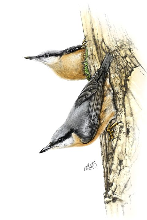 Nuthatches - Mark Collins Art