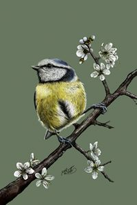Blue Tit On Blackthorn