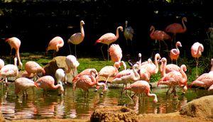 Flamingo Reflections - Saraphim Gates