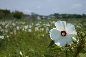 Field of Marsh Mallows