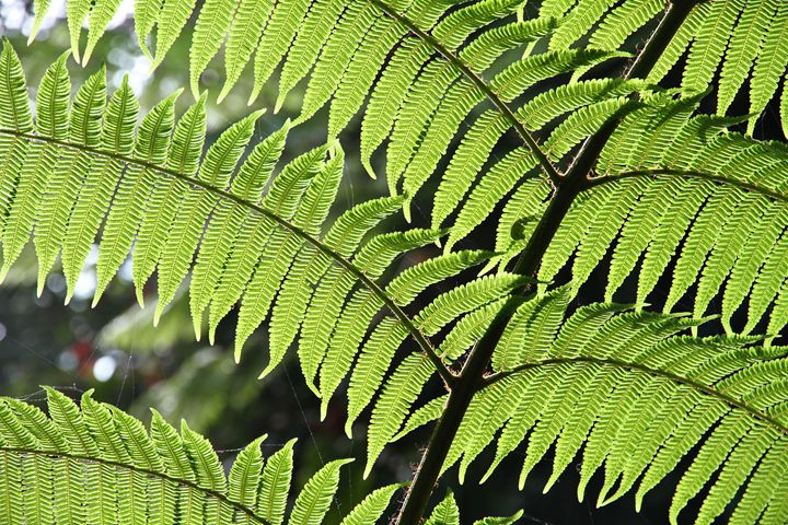 Fern leaves - Alvin Wong Photography Gallery