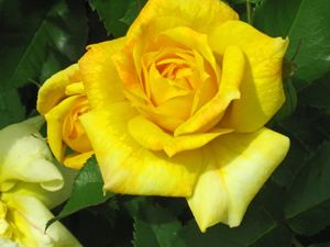 Roses in Yellow