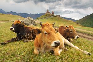 Georgia. Cows on the mountain pastur - Tartalja