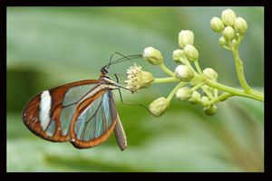 Glass winged butterfly: Costa Rica