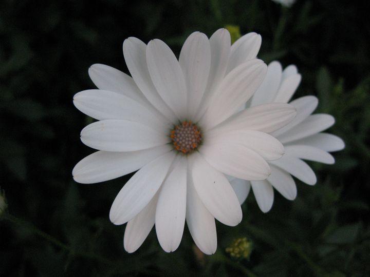 White Daisy - M.R.Art